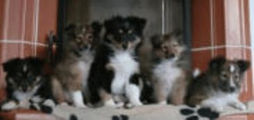 sicheres-weihnachten-mit-welpen-silvester-hunde